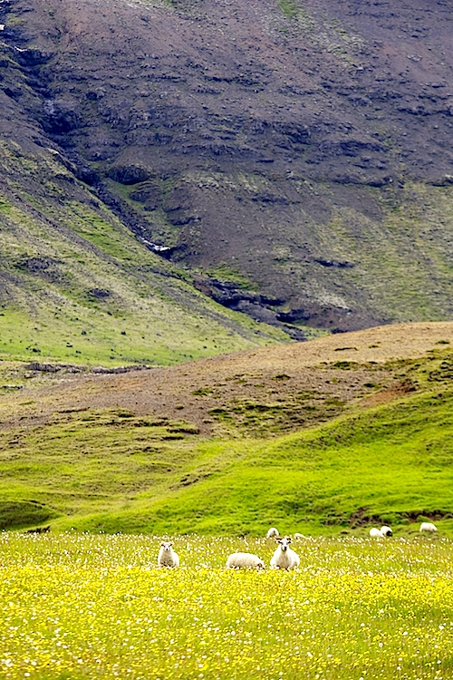 wild icelandic free roaming sheep